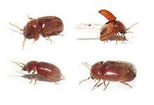 Cigarette-beetles-Kitchen-bugs