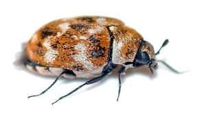 Dermestid-beetles-kitchen-bug-300x176