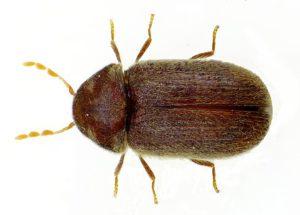 Drugstore-beetles-300x215