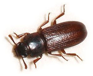 how-to-get-rid-of-tiny-black-bugs-in-kitchen-Bran-Bugs-300x247