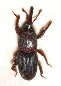 kitchen-bugs-Grain-weevils-214x300