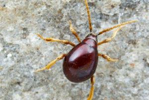 kitchen-bugs-Spider-beetles-300x201